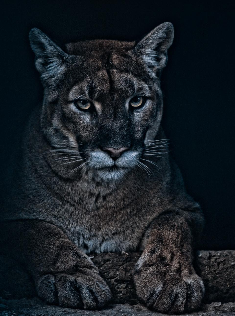 Foto Haaser - Cougar